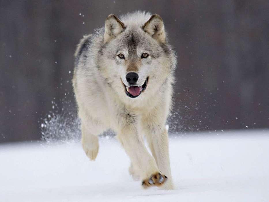 Скачать на телефон картинки волки   лучшие заставки (14)