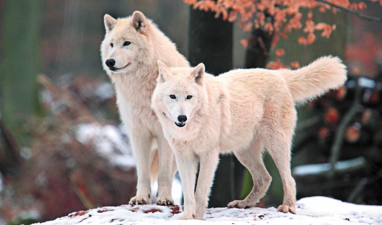 Скачать на телефон картинки волки   лучшие заставки (15)