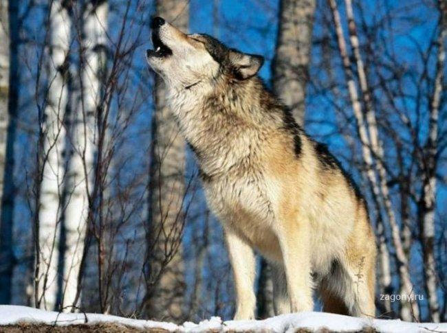 Скачать на телефон картинки волки   лучшие заставки (16)