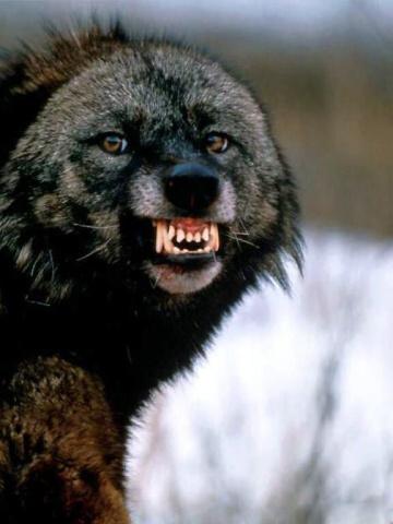 Скачать на телефон картинки волки   лучшие заставки (21)