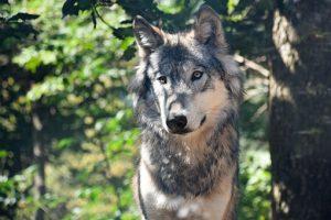 Скачать на телефон картинки волки   лучшие заставки (26)