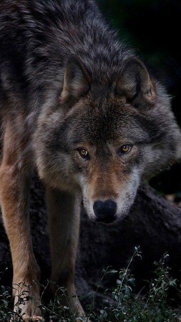 Скачать на телефон картинки волки   лучшие заставки (3)