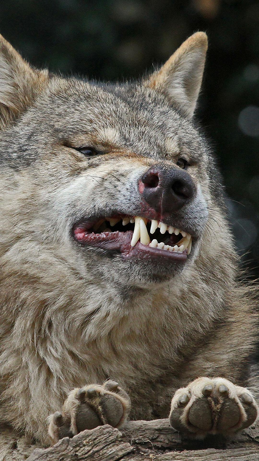 Скачать на телефон картинки волки   лучшие заставки (31)