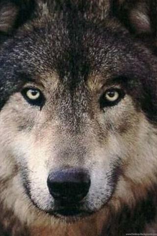 Скачать на телефон картинки волки   лучшие заставки (32)