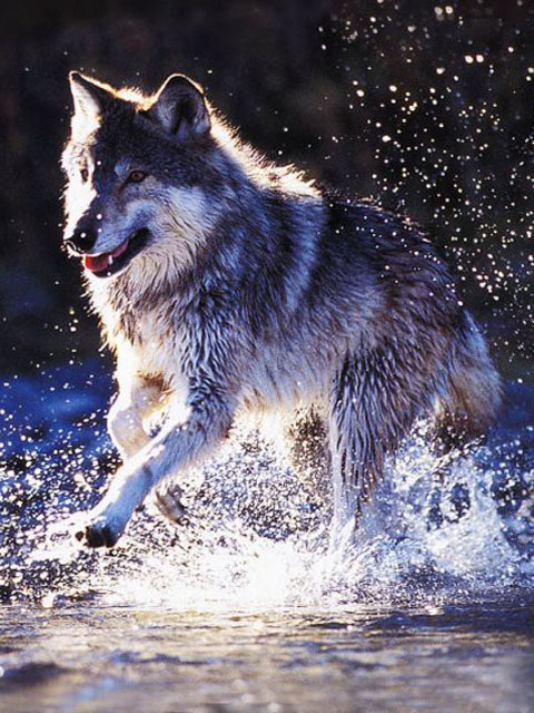 Скачать на телефон картинки волки   лучшие заставки (33)