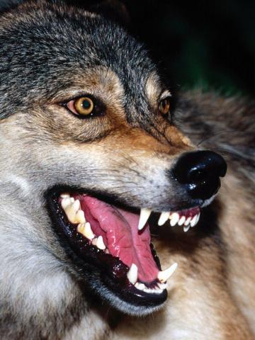 Скачать на телефон картинки волки   лучшие заставки (5)