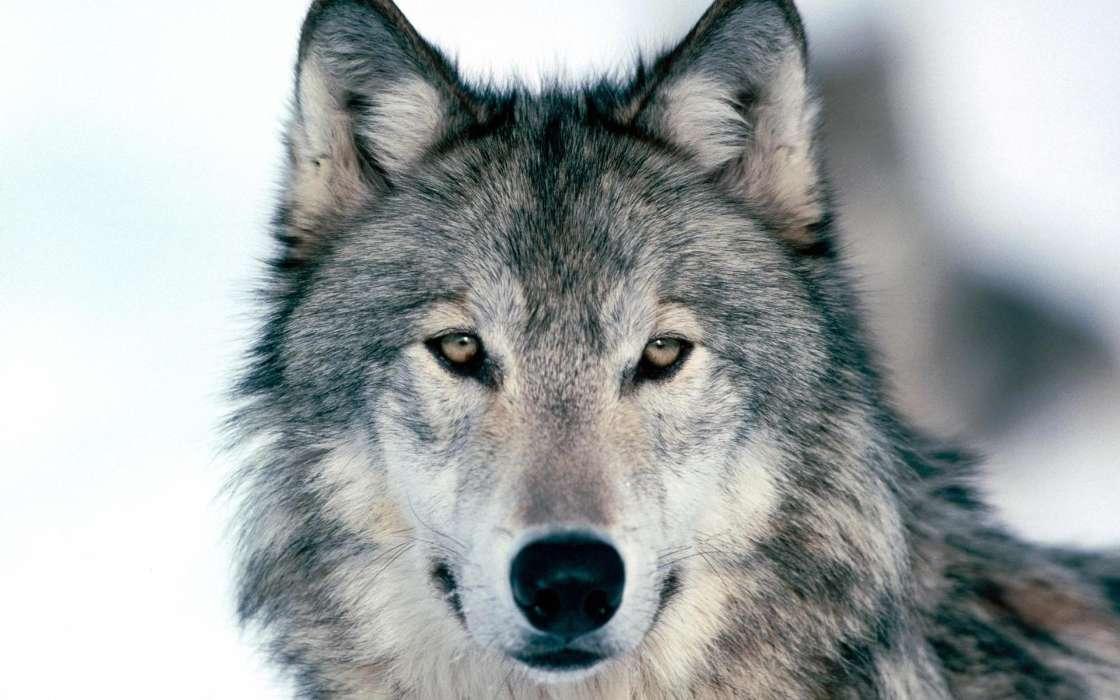 Скачать на телефон картинки волки   лучшие заставки (7)