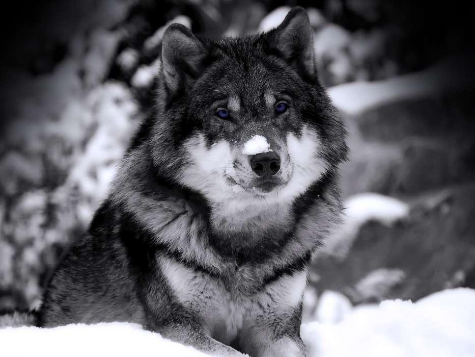 Скачать на телефон картинки волки   лучшие заставки (9)
