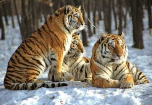 Амурский тигр скачать фото   подборка 024