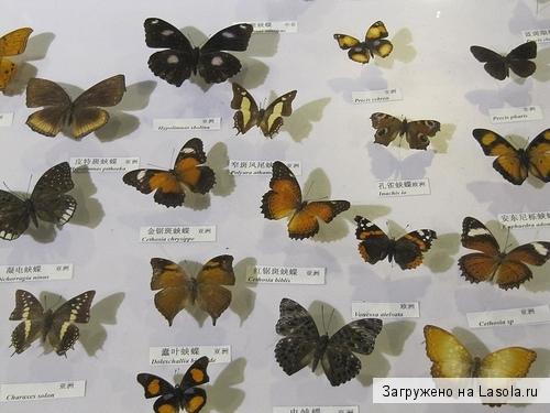 Бабочки их названия и картинки 021