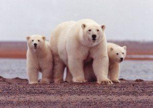 Белые медведи фото и картинки 022