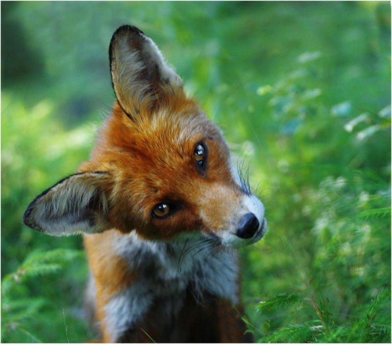 Прикольная картинка про лису, своими