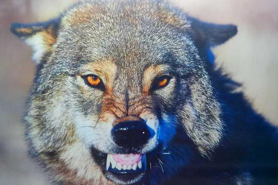 картинки волки злятся одно
