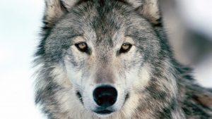 Волки картинки скачать на рабочий стол   подборка (1)
