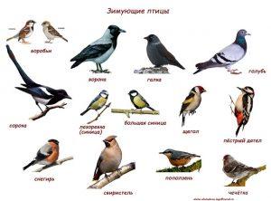 Ворона перелетная птица или зимующая фото 028