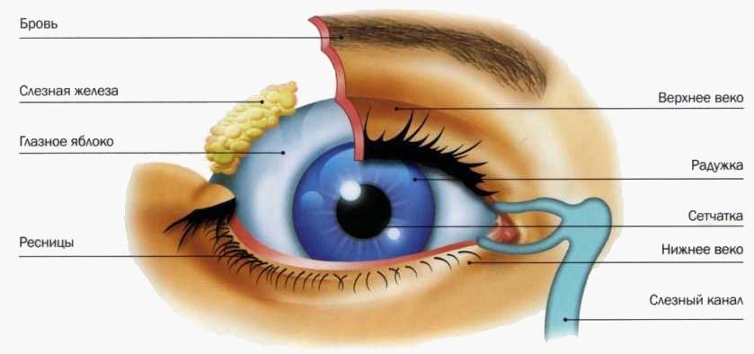 Глаза человека картинка для детей   подборка 023