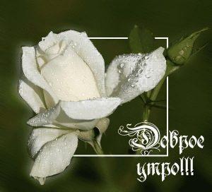 Доброе утро любимая белые розы   картинки 018