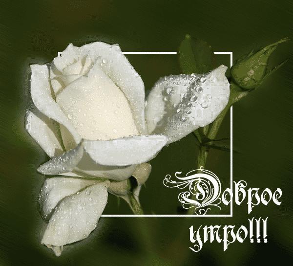 Анимация днем, картинки белых роз с надписями