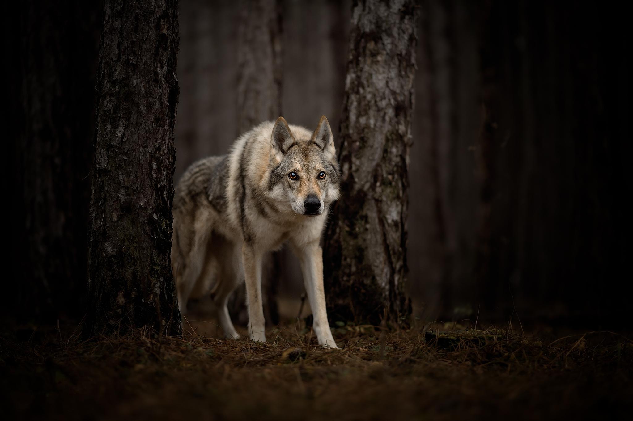 Заставки на телефон скачать волки (1)
