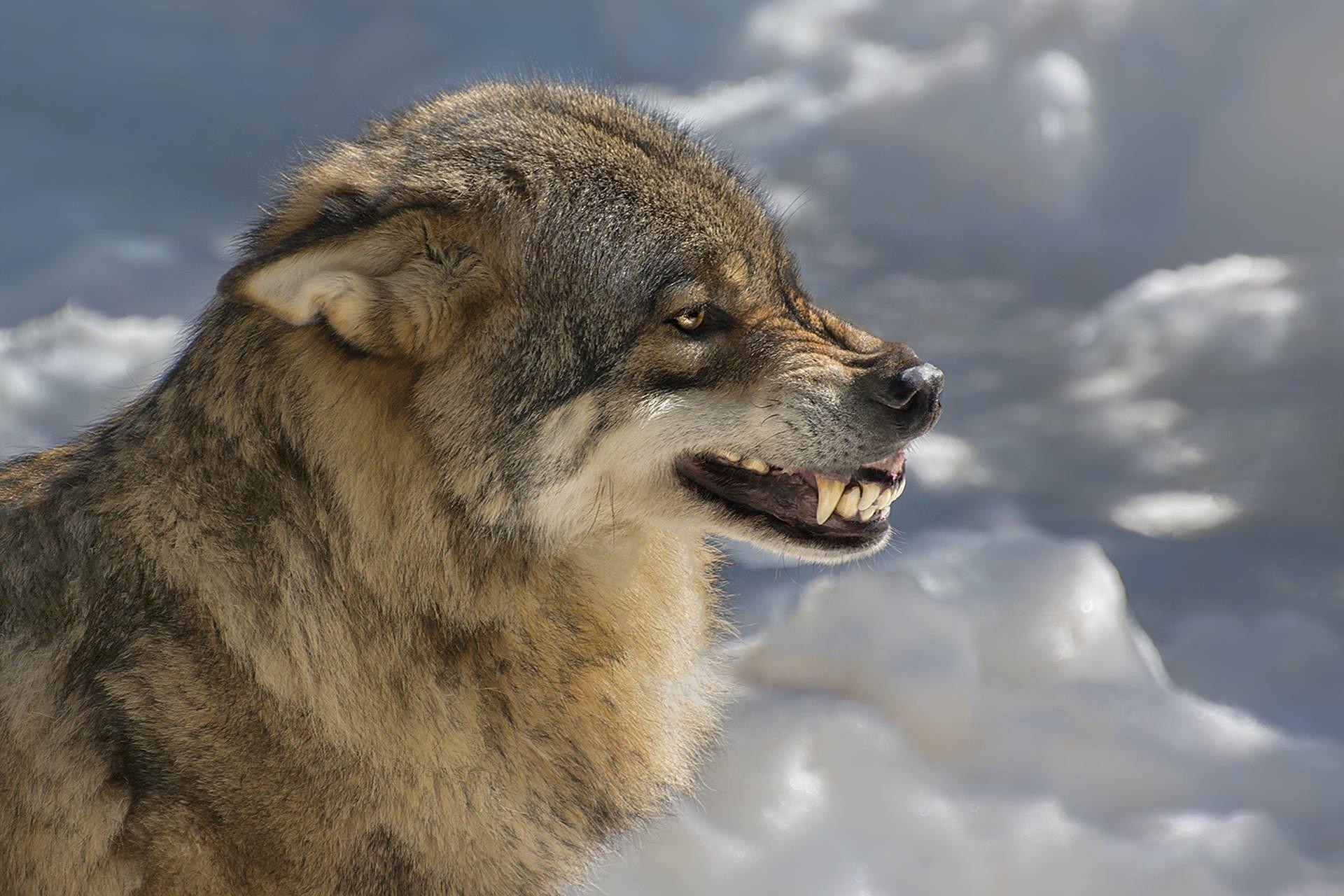 Заставки на телефон скачать волки (11)