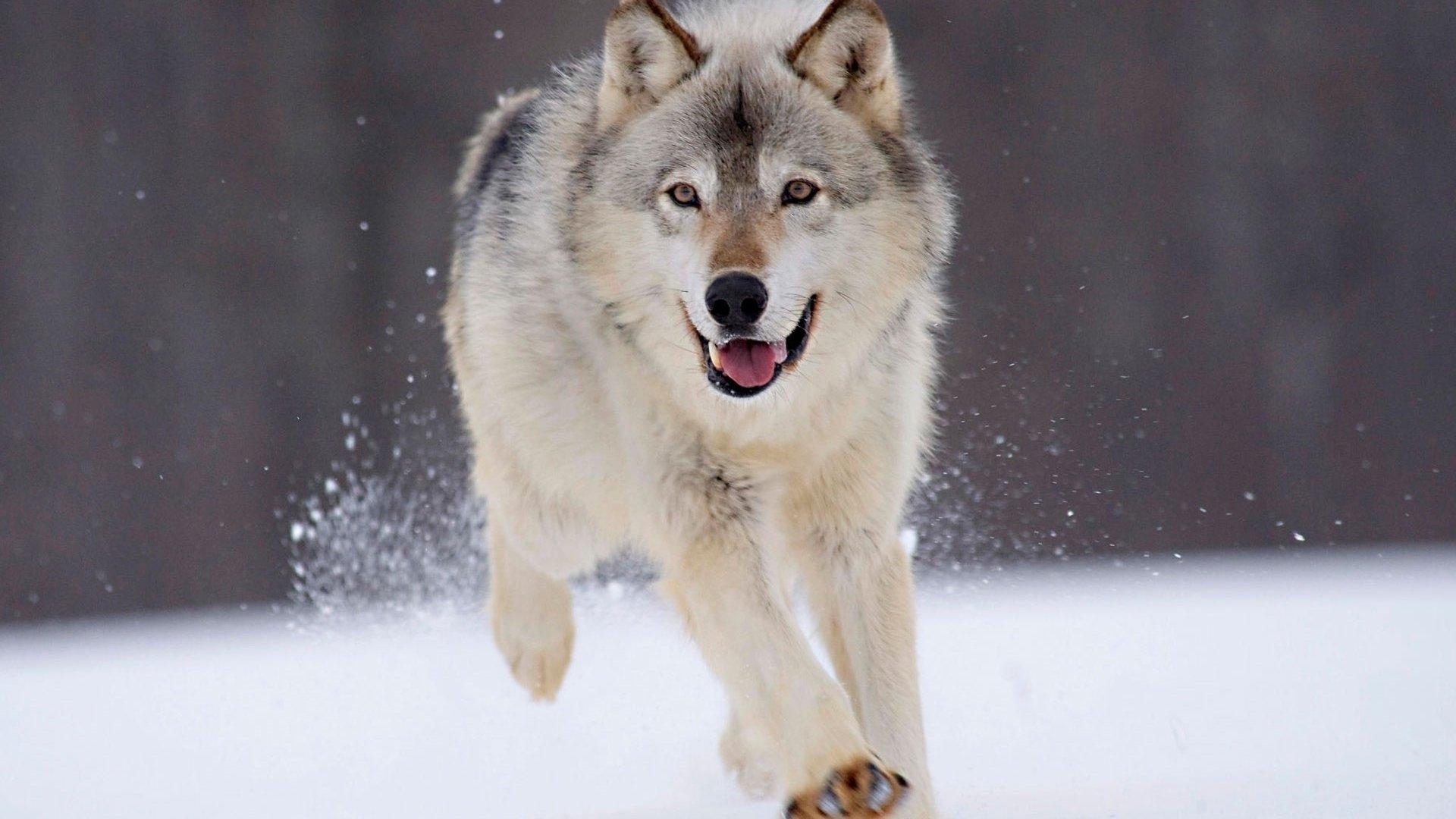 Заставки на телефон скачать волки (14)