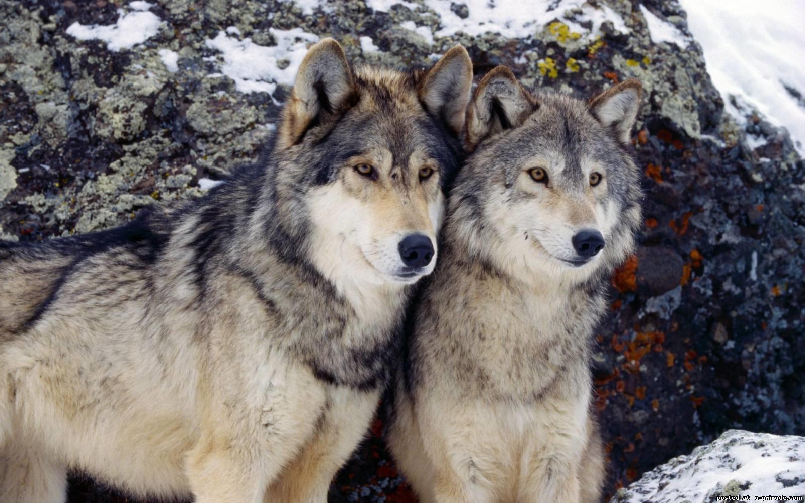 Заставки на телефон скачать волки (15)