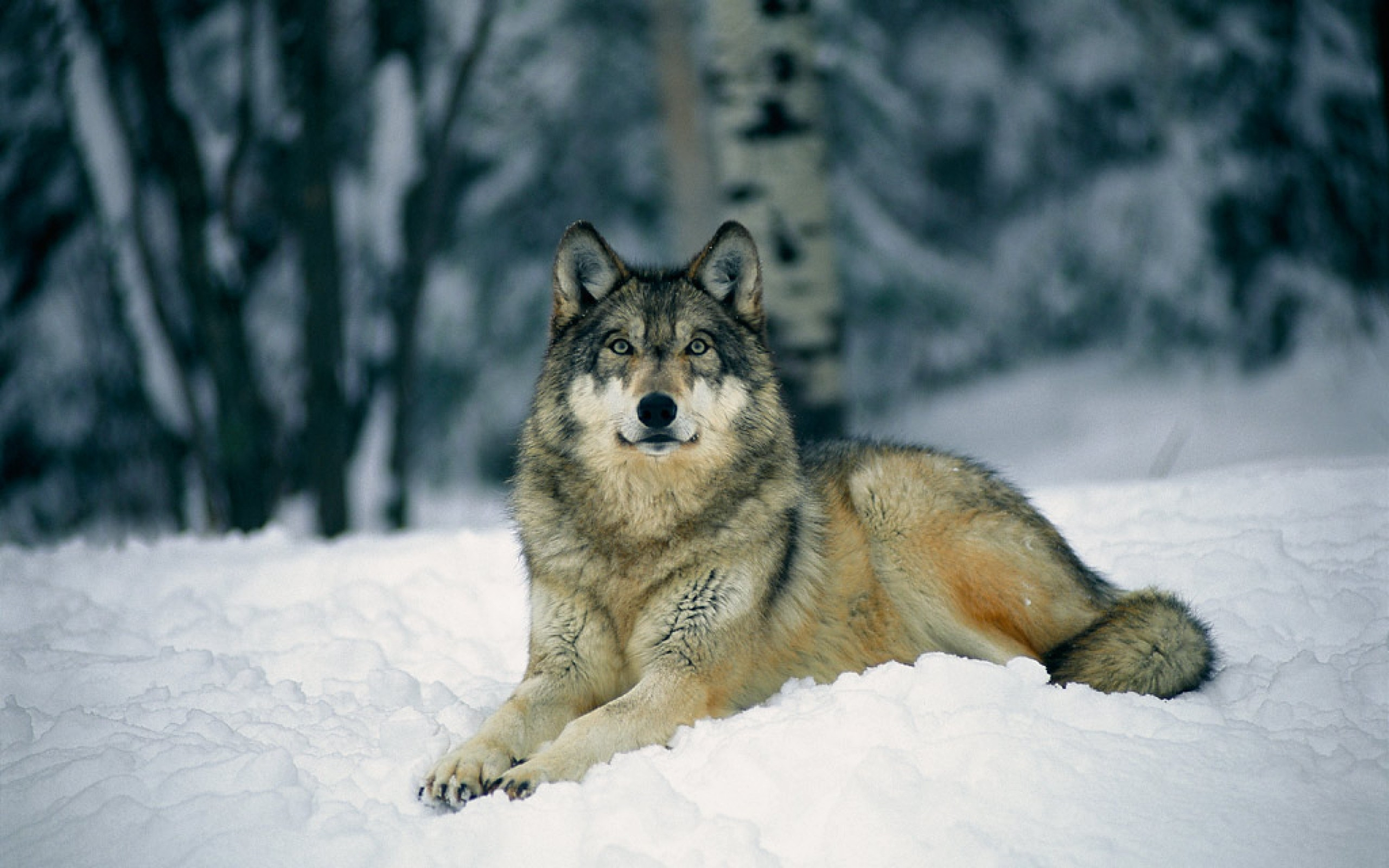 Заставки на телефон скачать волки (6)