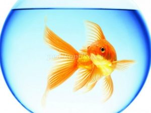 Золотая рыбка в аквариуме картинка для детей023