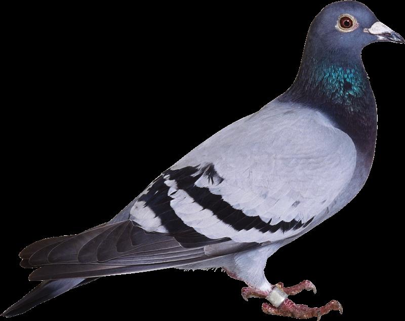Картинка голубя для детей   подборка 001