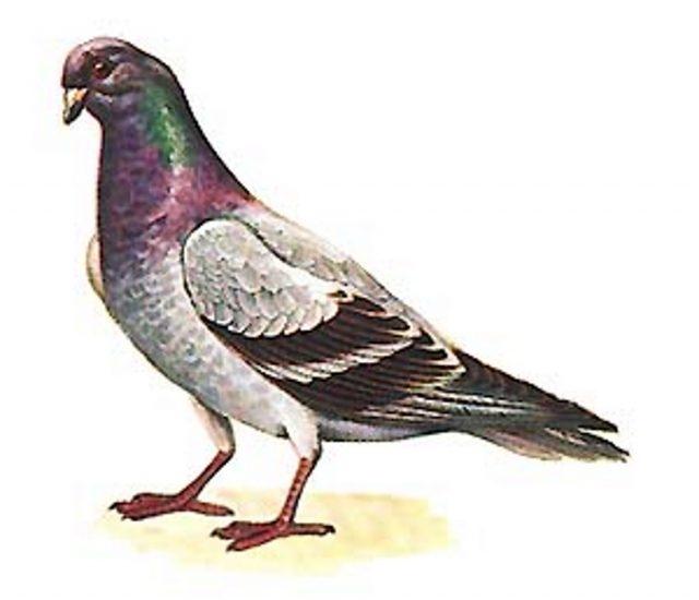 Картинка голубя для детей   подборка 002