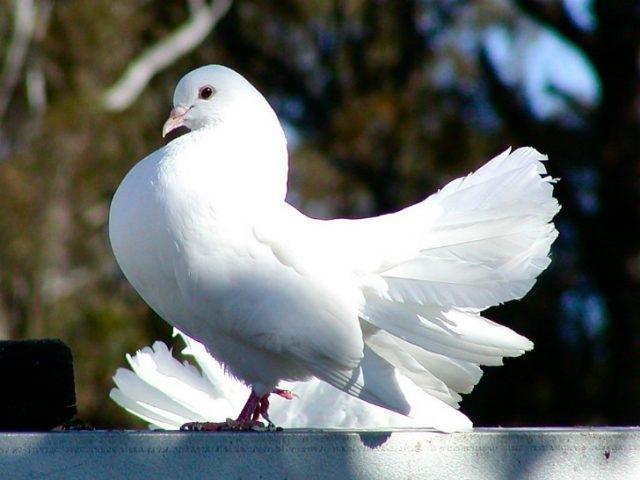 Картинка голубя для детей   подборка 003