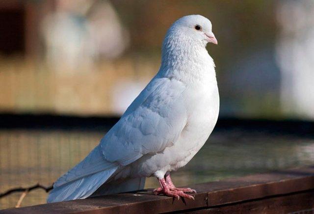 Картинка голубя для детей   подборка 004