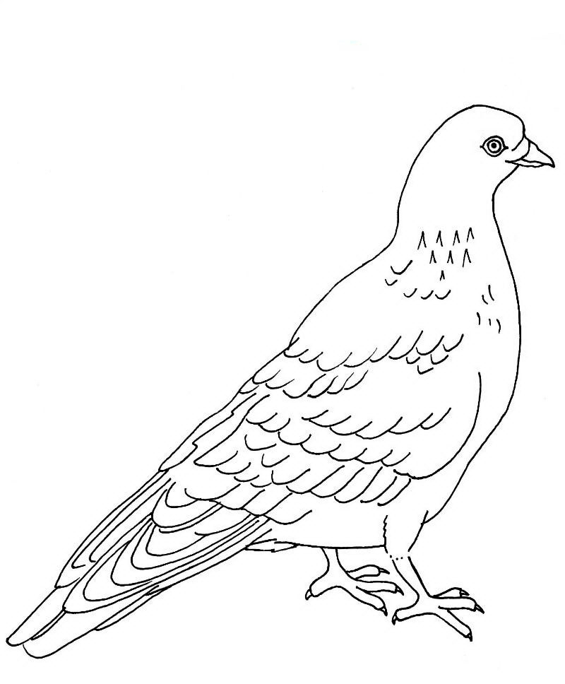 Картинка голубя для детей   подборка 007