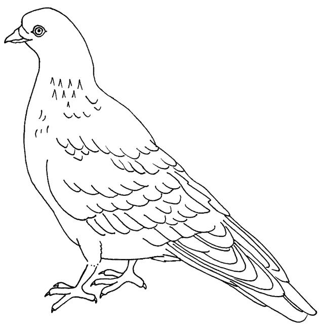 Картинка голубя для детей   подборка 016