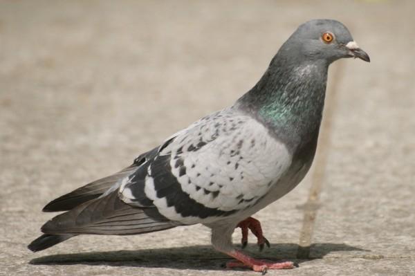 Картинка голубя для детей   подборка 019