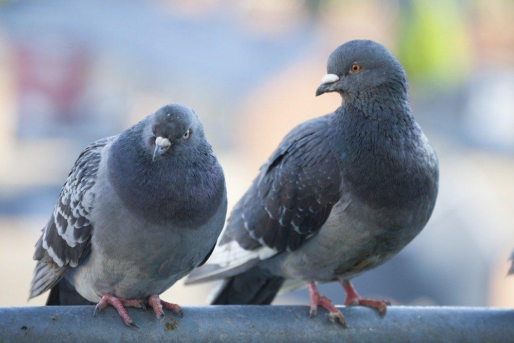 Картинка голубя для детей   подборка 025