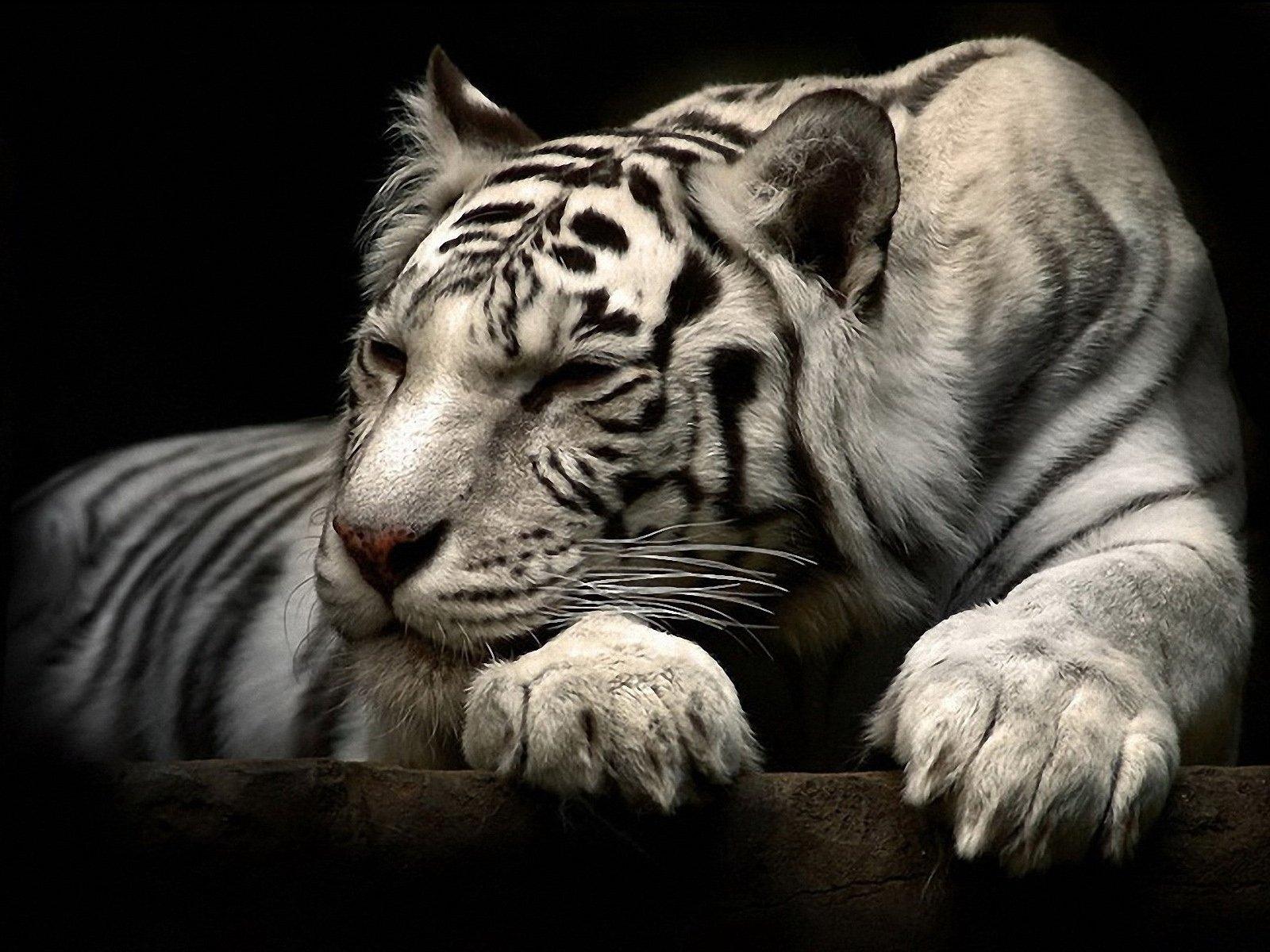 Картинка на рабочий стол тигр (11)