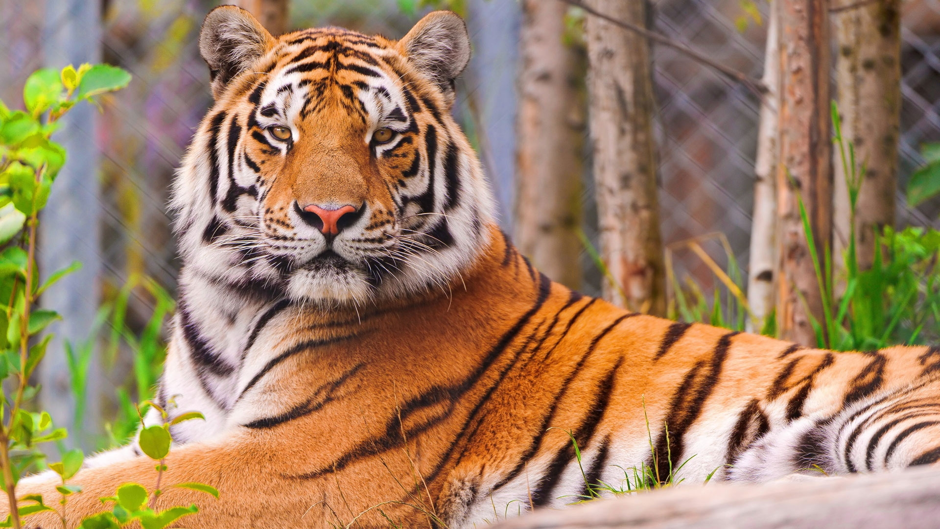 Картинка на рабочий стол тигр (12)