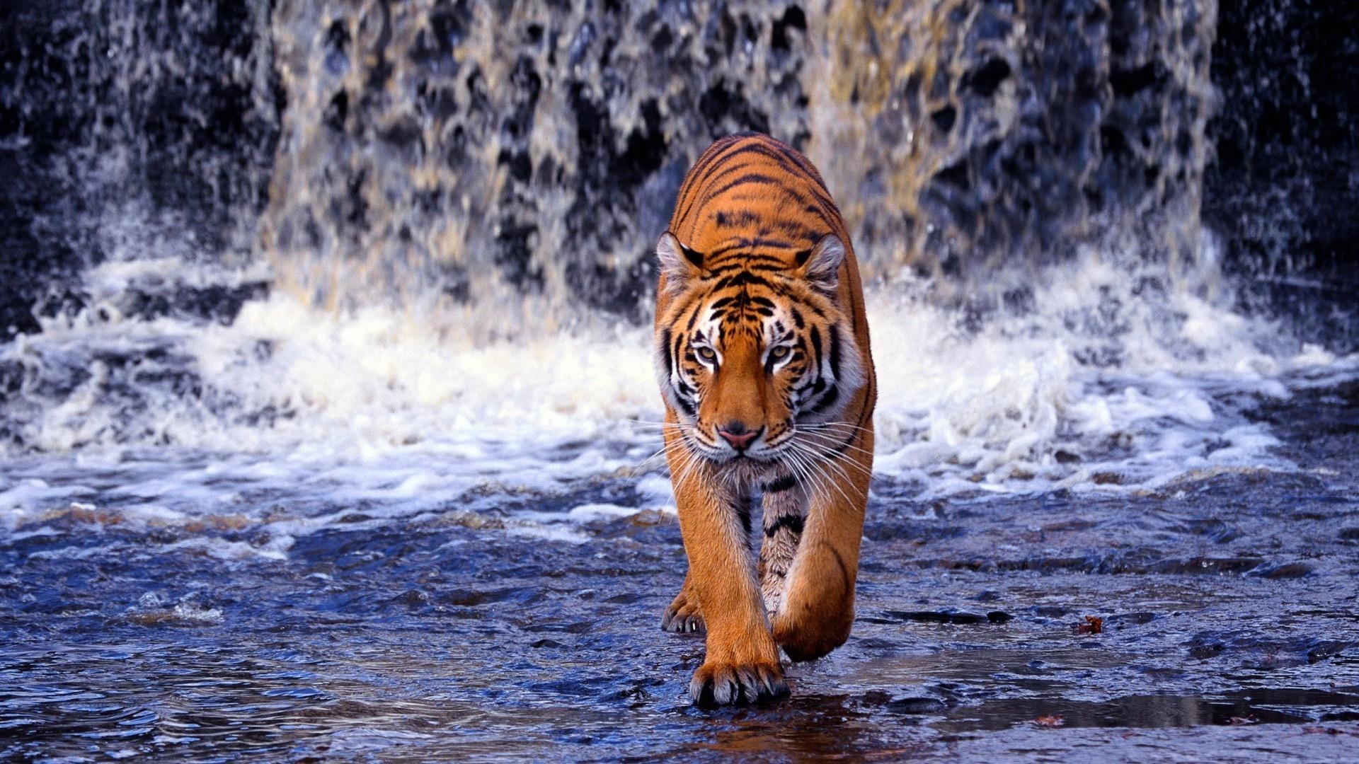 Картинка на рабочий стол тигр (18)