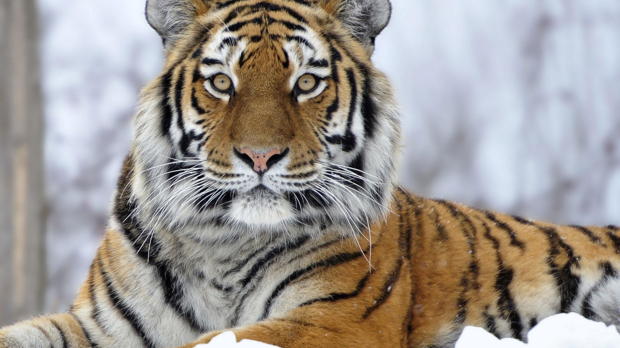 Картинка на рабочий стол тигр (19)