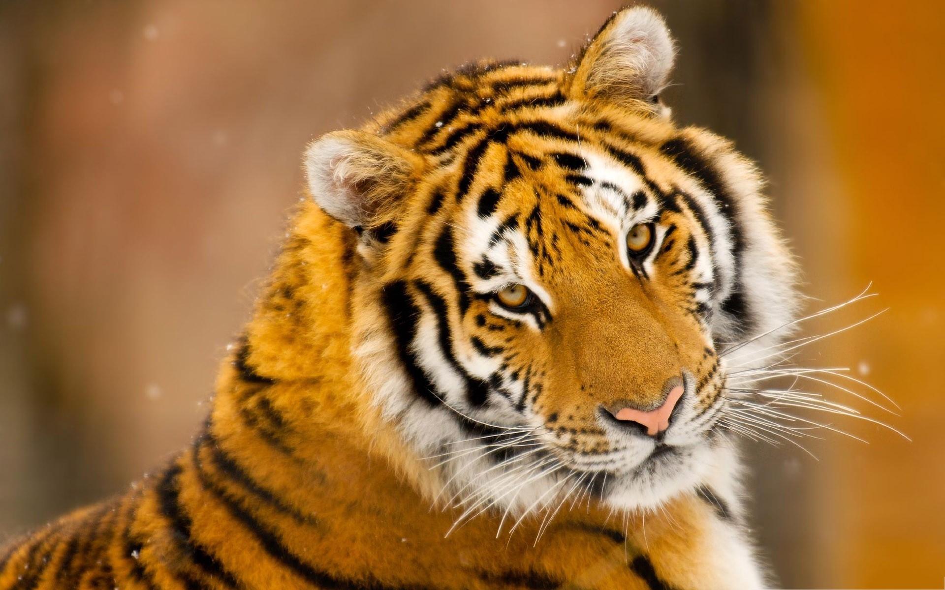 Картинка на рабочий стол тигр (20)