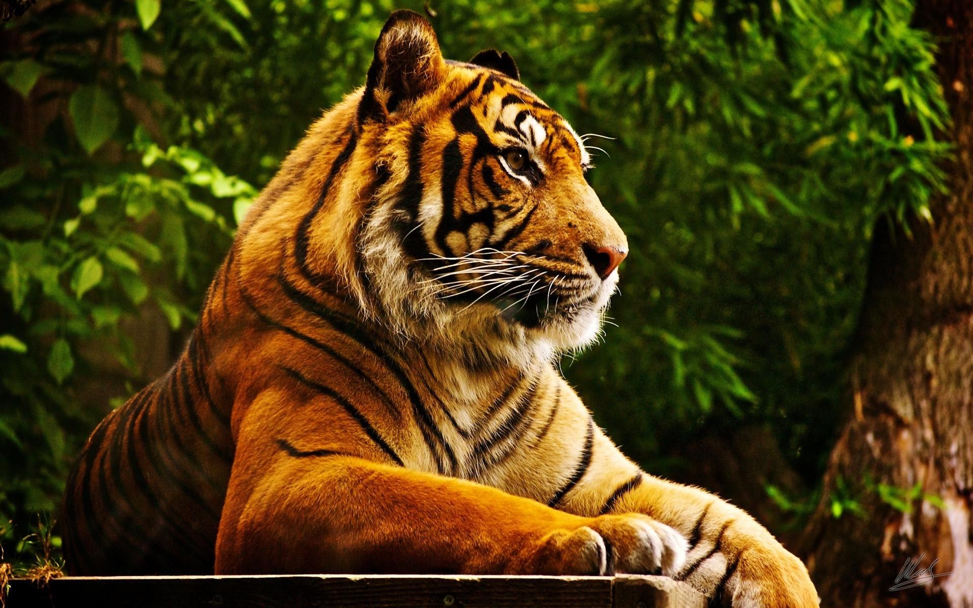 Картинка на рабочий стол тигр (5)