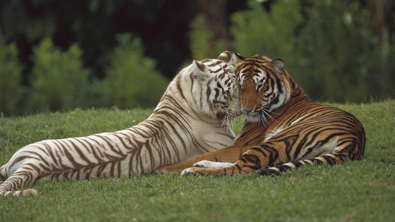Картинка на рабочий стол тигр (8)