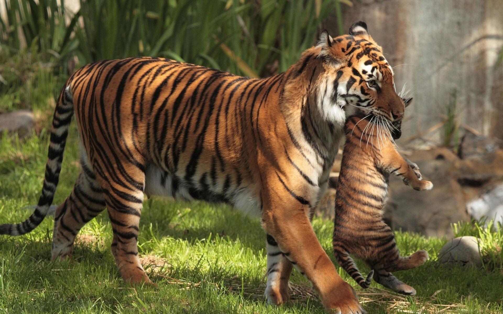 Картинка на рабочий стол тигр (9)