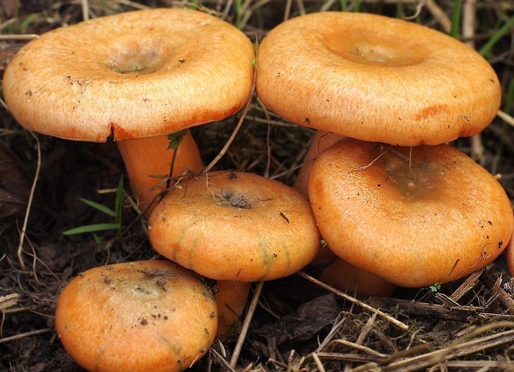 Картинка рыжик гриб для детей   подборка 010