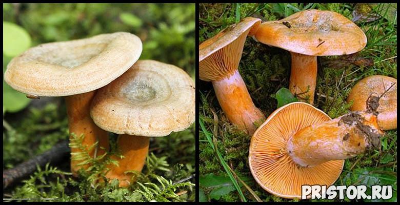 Картинка рыжик гриб для детей   подборка 022