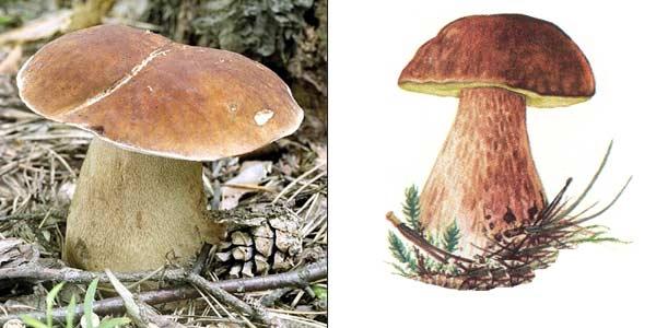 Картинка рыжик гриб для детей   подборка 026