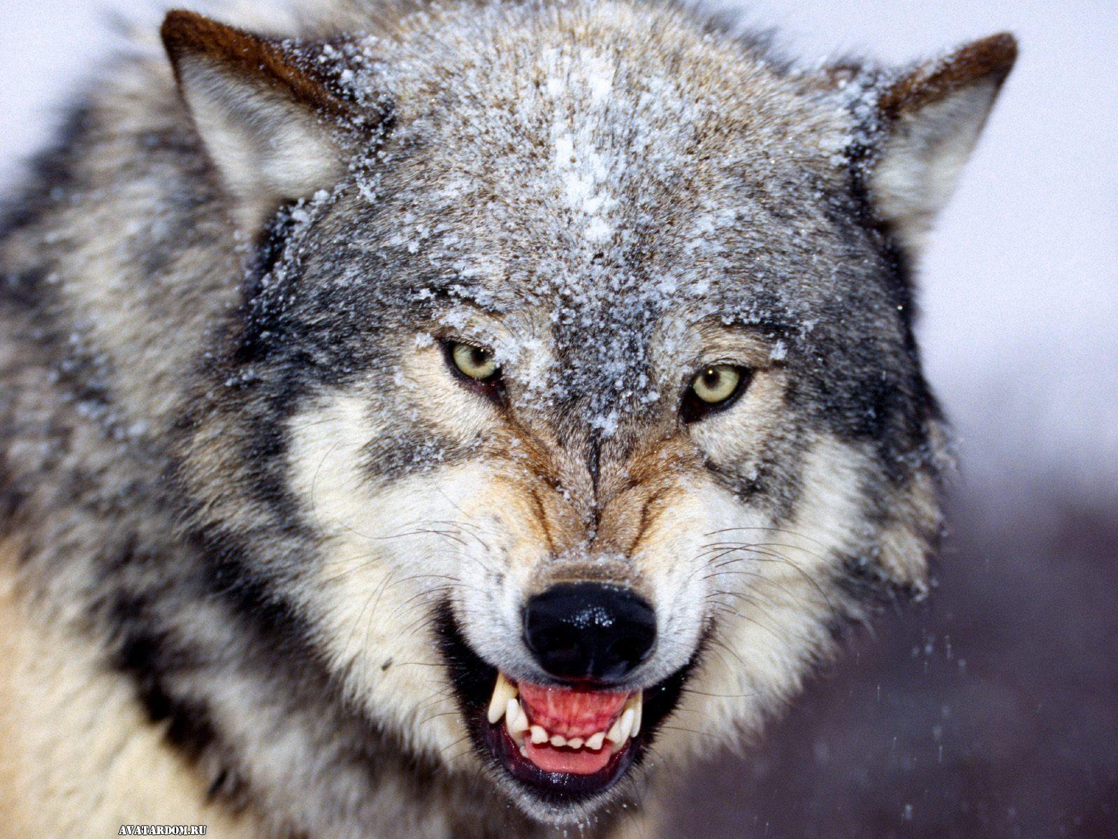 Картинки Волки скачать на рабочий стол бесплатно (17)
