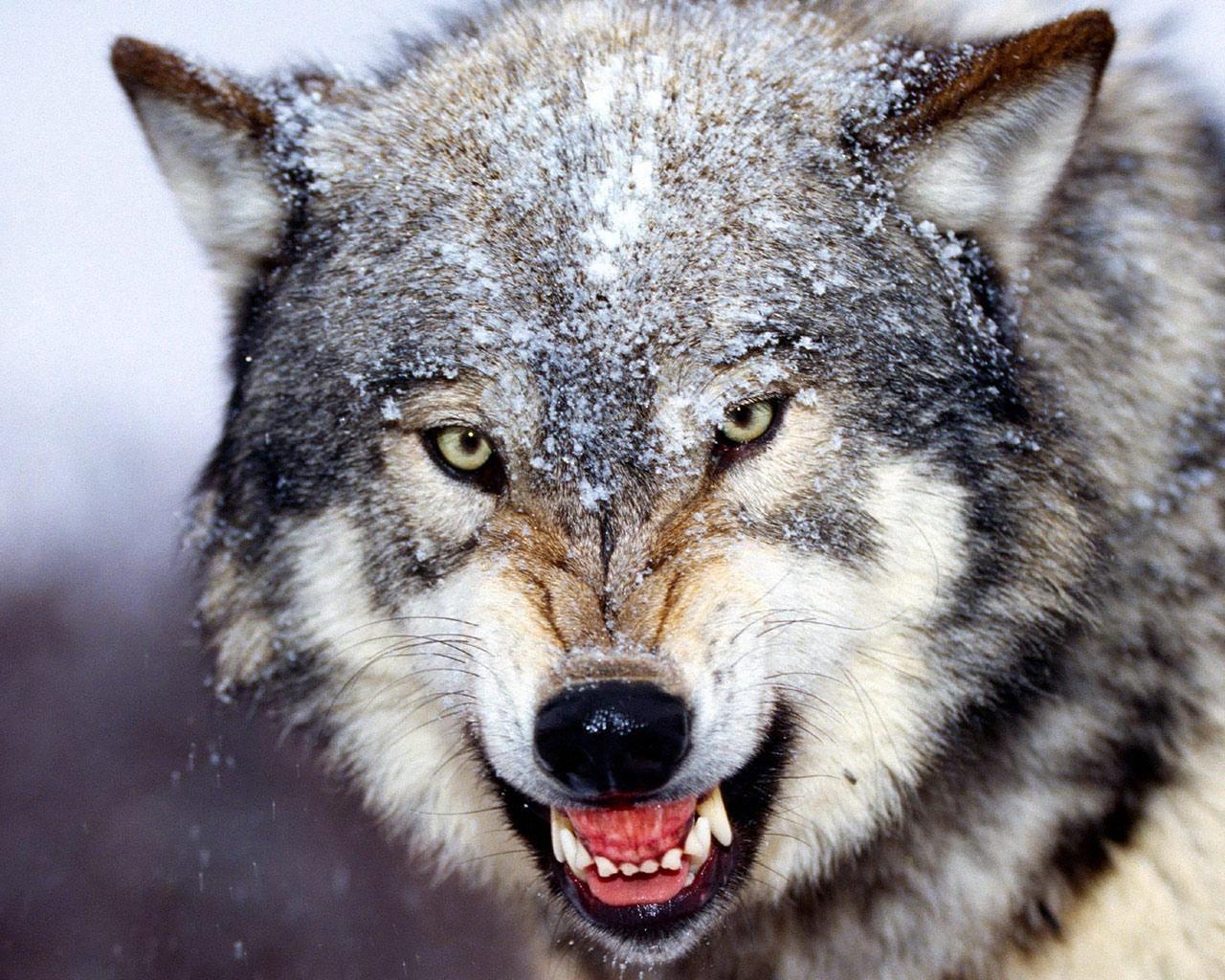 Картинки Волки скачать на рабочий стол бесплатно (20)