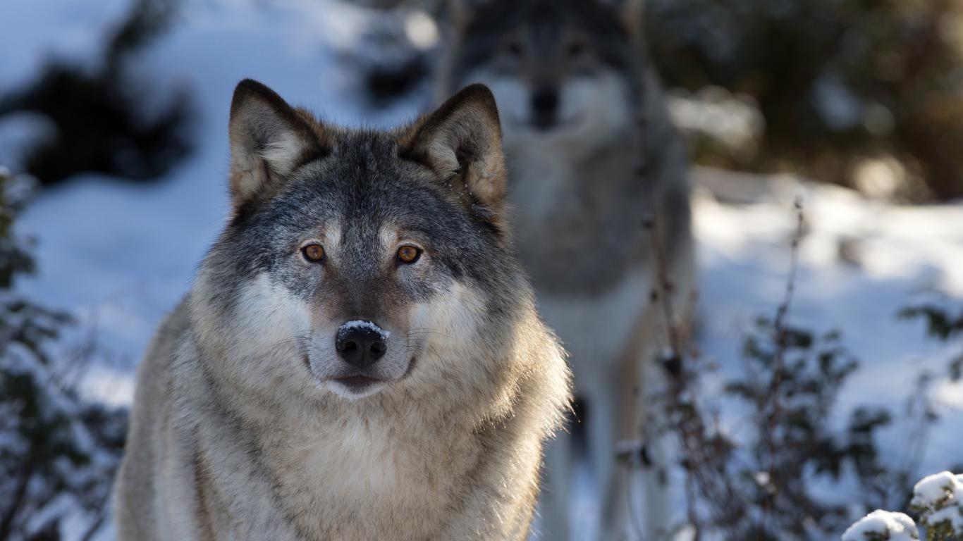 Картинки Волки скачать на рабочий стол бесплатно (22)